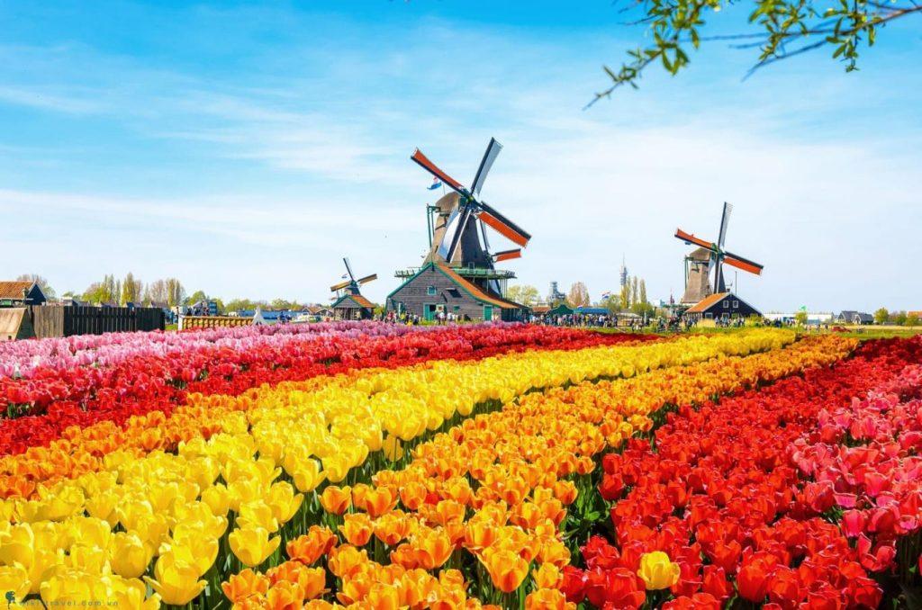 Hoa tulip - biểu tượng của quốc gia hạnh phúc Hà Lan