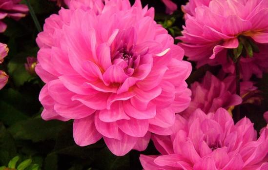 Hoa Mẫu Đơn hoa dep nhat mexico