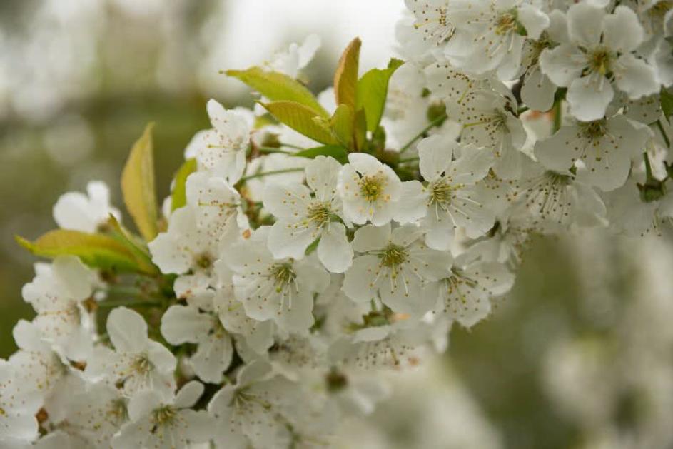 Hoa Anh Đào - Loài hoa đẹp nhất xứ sở mặt trời mọc