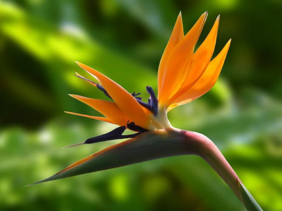 Hoa Chim Thiên Đường hoa dep nhat